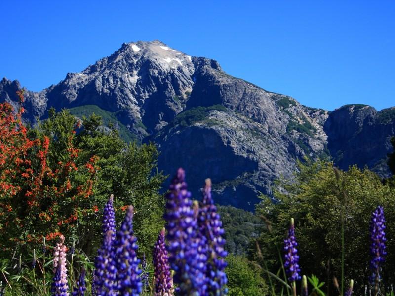El cerro Lopez, en Bariloche, coloreado por los lupinos.